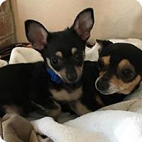 Adopt A Pet :: Twix - Flower Mound, TX