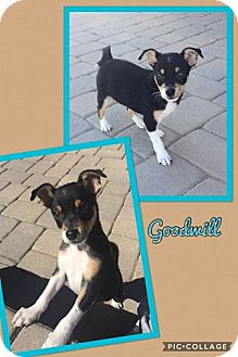 Chihuahua/Jack Russell Terrier Mix Puppy for adoption in Scottsdale, Arizona - Goodwill
