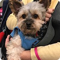 Adopt A Pet :: Bertie - O'Fallon, MO