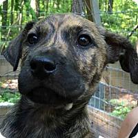 Adopt A Pet :: Suki - Big Canoe, GA