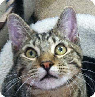 Domestic Shorthair Kitten for adoption in Winchester, California - Little Bit