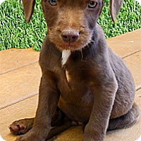 Adopt A Pet :: Harmony cutie - Sacramento, CA