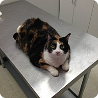 Domestic Shorthair Cat for adoption in Brampton, Ontario - Missy