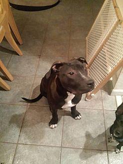 Labrador Retriever/Hound (Unknown Type) Mix Dog for adoption in Sarasota, Florida - Victory