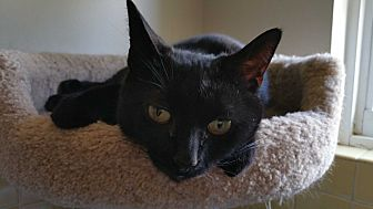 Domestic Shorthair Cat for adoption in Philadelphia, Pennsylvania - Joaniez