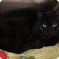 Domestic Shorthair Cat for adoption in Acme, Michigan - Mr. Hudson