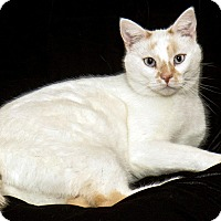 Domestic Shorthair Cat for adoption in Cashiers, North Carolina - Snowball