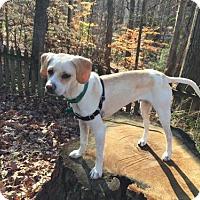 Beagle Mix Dog for adoption in Alpharetta, Georgia - Scherzo