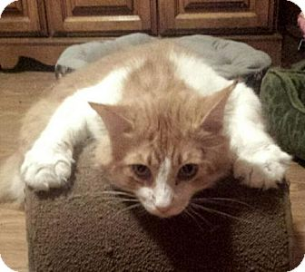 Maine Coon Cat for adoption in Knoxville, Tennessee - Gorgeous George