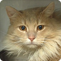 Domestic Longhair Cat for adoption in Portsmouth, Virginia - Allen