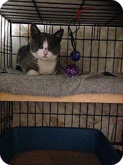 American Shorthair Kitten for adoption in Brooklyn, New York - Taylor Swift