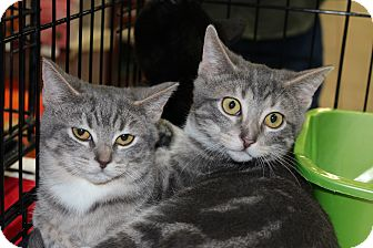 Domestic Shorthair Kitten for adoption in Santa Monica, California - Heidi