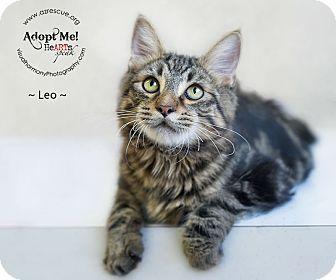 Domestic Mediumhair Cat for adoption in Phoenix, Arizona - Leo