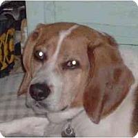 Adopt A Pet :: Ozzie - Neutered! - Alliance, OH