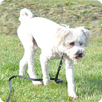 Adopt A Pet :: Bobby - Tumwater, WA