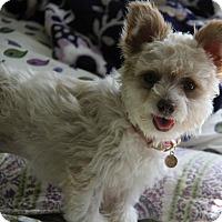 Adopt A Pet :: Butterfly - Yuba City, CA