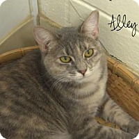 Domestic Shorthair Cat for adoption in Middleburg, Florida - Alley Kat