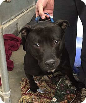 Pit Bull Terrier Mix Dog for adoption in Middletown, New York - Neiko