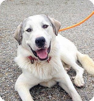 Anatolian Shepherd Mix Dog for adoption in Creston, British Columbia - Terrence