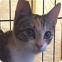 Domestic Shorthair Cat for adoption in LaJolla, California - Chance AKA Hazel