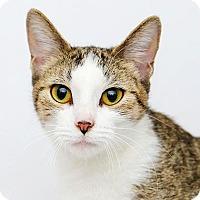 Adopt A Pet :: Patch - Adrian, MI