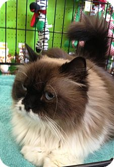 Himalayan Cat for adoption in Beverly Hills, California - Maryland