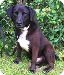 Labrador Retriever Mix Dog for adoption in Kingwood, Texas - Toby
