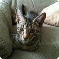 Domestic Shorthair Kitten for adoption in Garland, Texas - Barney (Bernard)