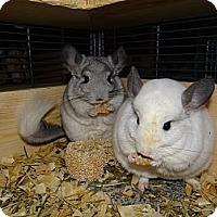 Adopt A Pet :: Timone & Pumba - Virginia Beach, VA