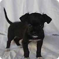Adopt A Pet :: Clarabelle - Toluca Lake, CA