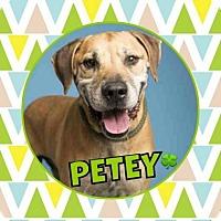 Labrador Retriever Mix Dog for adoption in Scottsdale, Arizona - Petey