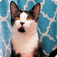 Domestic Shorthair Cat for adoption in Houston, Texas - Tiffany