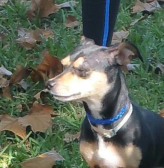 Dachshund/Chihuahua Mix Dog for adoption in Houston, Texas - KIMI