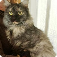 Ragdoll Cat for adoption in Harrisonburg, Virginia - Sally