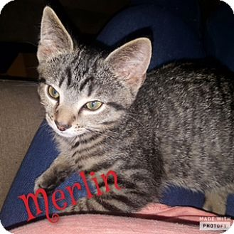 Domestic Shorthair Kitten for adoption in Cincinnati, Ohio - Merlin