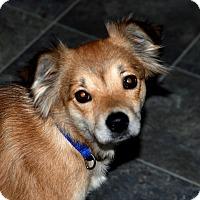 Adopt A Pet :: Georgia- House-trained - Salamanca, NY