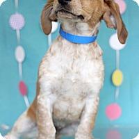 Adopt A Pet :: Bowser - Waldorf, MD