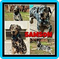 Adopt A Pet :: Samson - Fort Collins, CO