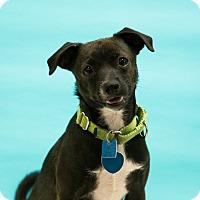 Adopt A Pet :: Lily - Houston, TX