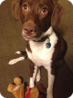 Brittany/Spaniel (Unknown Type) Mix Puppy for adoption in Hamburg, Pennsylvania - Snickers