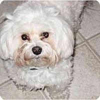 Adopt A Pet :: Woody - Commerce TWP, MI
