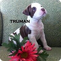 Adopt A Pet :: TRUMAN - Higley, AZ