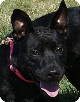 German Shepherd Dog/Labrador Retriever Mix Dog for adoption in Dundee, Michigan - Him - ADOPTION PENDING