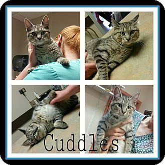 Domestic Shorthair Cat for adoption in Steger, Illinois - Cuddles