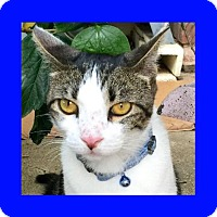 Domestic Shorthair Cat for adoption in Euless, Texas - Bootsie