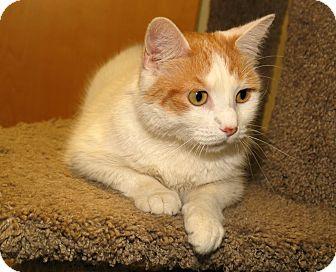 Domestic Shorthair Cat for adoption in Milford, Massachusetts - Flora