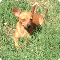 Chihuahua Mix Dog for adoption in Garland, Texas - Murphy