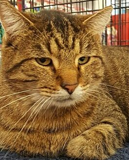 American Shorthair Cat for adoption in Lyons, Illinois - Regis