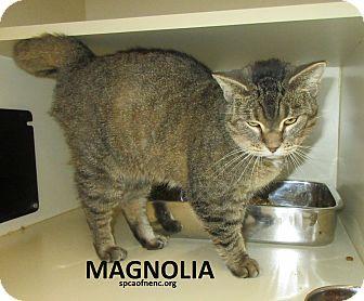 Domestic Shorthair Cat for adoption in Elizabeth City, North Carolina - Magnolia