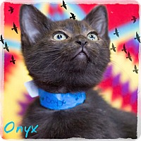 Domestic Shorthair Kitten for adoption in Germantown, Ohio - Onyx